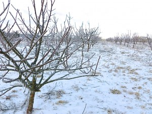 Ice covered Apple trees out at Delvin Farms