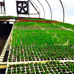New vegetable seedlings are protected in Kirkview Farm Greenhouses.