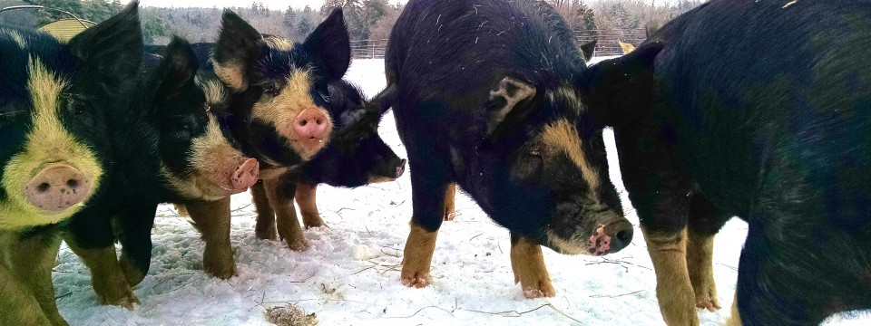 Pigs and Winter Ice Storm 2015