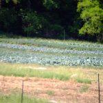 delvin farms organic kale
