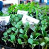 Vegetable  Starter Plants