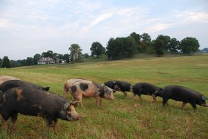 Bear Creek Pigs