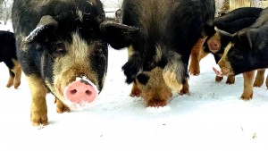 Pigs from West Wind Farms