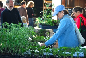 A market customer selecting vegetable starter plants from Paradise Produce